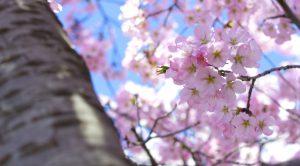 桜、飯田橋、頭、自立神経、頭痛